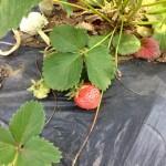 5/23 イチゴ・タマネギ・エンドウ豆の収穫,畑の整理