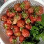 5/12 イチゴの初収穫、ワイルドストロベリーも収穫できそうです。
