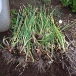 5/16の作業 イチゴの収穫、ワケギの堀上げ