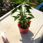 5/17 鷹の爪・小玉スイカ・プリンスメロン・サツマイモ定植、ほうれん草・いちごの収穫など