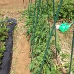 5/24 トマトの支柱立て、雑草取り、ナス科野菜への水やりなど