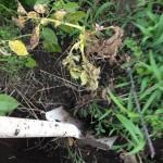 6/12 キタアカリの収穫、つるなしインゲンの種まき