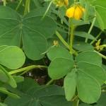 元茶畑にエビス草(緑肥)を蒔くことにしました