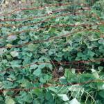 9/20 市民農園でサツマイモのツル返し、カボチャの収穫