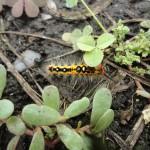 そら豆にいた毛虫の正体は「ヒメシロモンドクガ」でした。