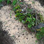 6/25 じゃがいも畝を整理しました。跡地には辛味大根をまきました。