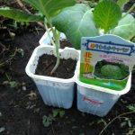 7/30 秋キャベツを定植しました